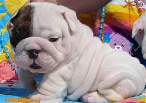 Teacup English Bulldog Wallpaper  Bulldog   ANIMAL ONLINE