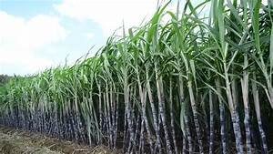 A Sugar Cane Crop In Field Ready For Harvest Stock Footage ...
