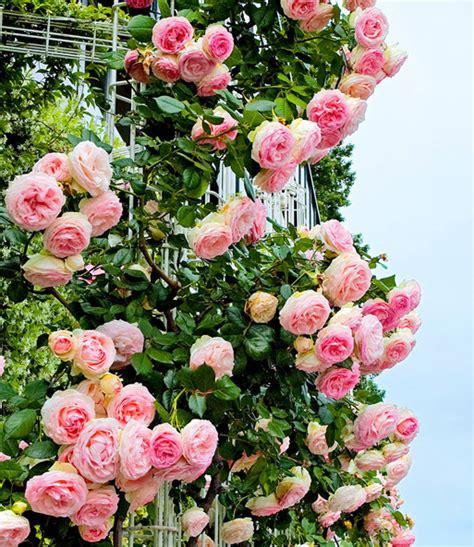 Baldur Garten Rosen Rheumricom