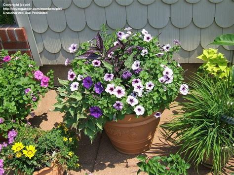 specialty gardening gerbera daisies in containers 1 by pirl
