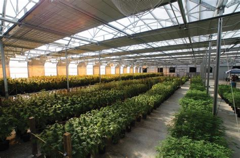 light deprivation greenhouse harnessing light dep marijuana venture