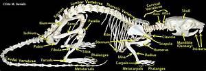 Rat Skeleton Labeled