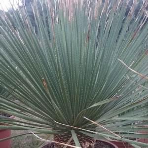 Cactus Sans Epine : dasylirion serratifolium les cact es de saint jean ~ Melissatoandfro.com Idées de Décoration
