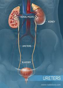 Human Body Organs Diagram Kidneys