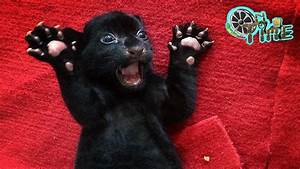 Rare black tiger cub does its best to terrify - Cute Black ...