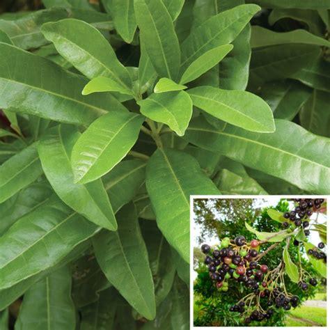Allspice (pimenta Officinalis