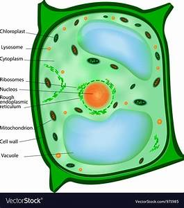 Picture Of Plant Cell