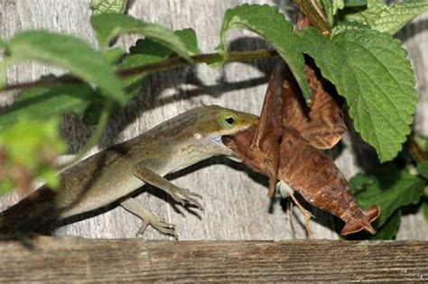 How Often Do Lizards Capture Enormous Prey? And How Often