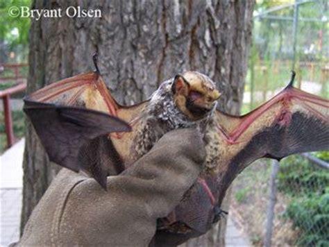 mammals  tennessee native tennessee species pinterest