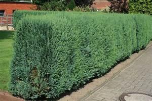 Blaue Scheinzypresse Kaufen : zypressen f r hecken baumschule pflanzen gro e pflanzen ~ A.2002-acura-tl-radio.info Haus und Dekorationen