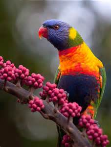 Colorful Rainbow Lorikeet Birds