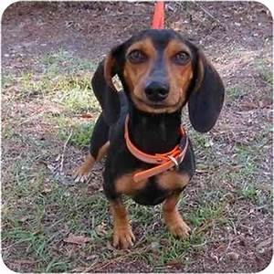 Bucket | Adopted Dog | Beaufort, SC | Beagle/Dachshund Mix