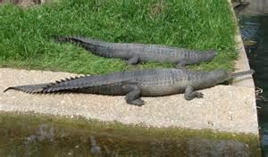 Gharial Crocodile Where Does Live