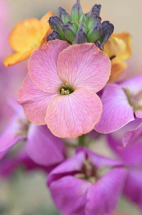 orchid winter erysimum purple wallflower wallflowers debbie plant