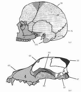 34 Diagram Of The Human Skull