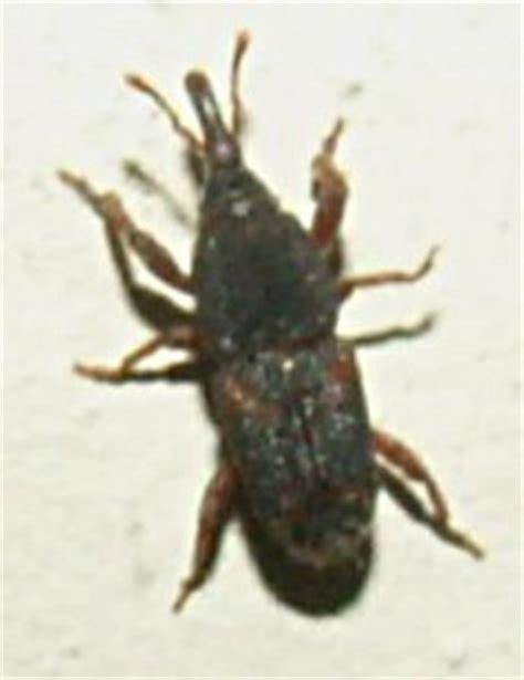 grain weevil whats  bug