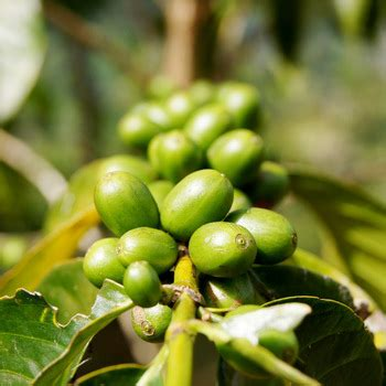 Business for sale south africa | selling businesses onl. Shanghai Herbary Supply Fresh Coffee Seeds - Buy Ornamental Tree Seeds,Plant Tree Seeds,Price Of ...