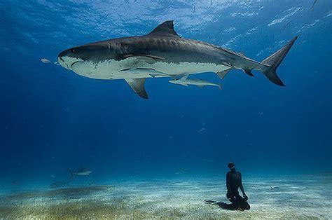 Australia Tiger Shark