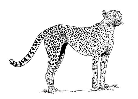 Cheetah Kleurplaat by Cheetah Coloring Pages To And Print For Free