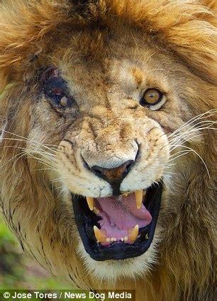 spitting image   lion king villain scar   kenya