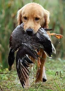 17 Best images about Jachthonden on Pinterest | Pheasant ...