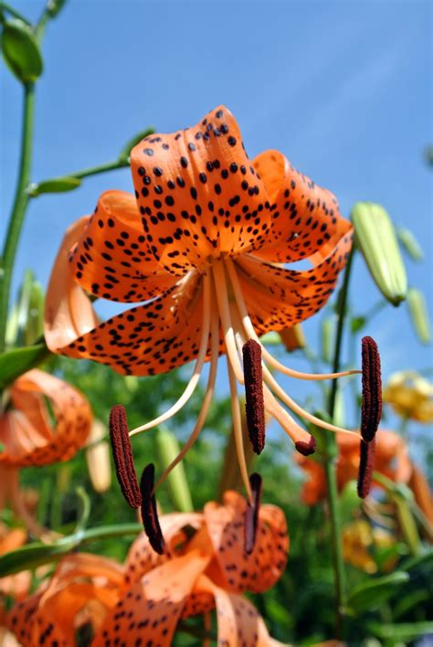 growing tiger lilies blooming tiger lilies the martha stewart blog