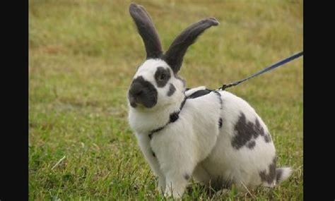checkered giant rabbit habitat size facts  images petworlds