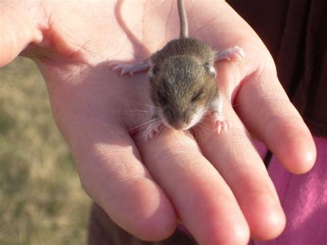 show me pictures of mice baby mouse