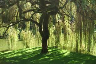 file bloedel reserve willow tree jpg