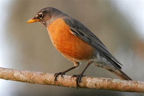 where are all the robins cedar waxwings gulf coast