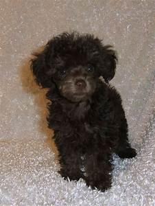 """Über 1.000 Ideen zu """"Teacup Poodle Puppies auf Pinterest ..."""