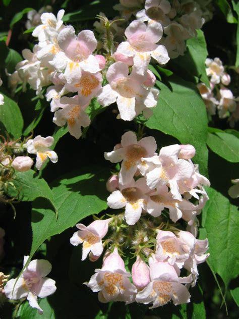 rosa blühender strauch unbekannter strauch wei 223 rosa bl 252 ten gt kolkwitzia amabilis