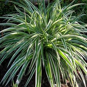 Plante Ombre Exterieur : chlorophytum comosum en pot 9cm mat riel mur v g ~ Carolinahurricanesstore.com Idées de Décoration
