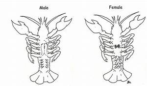 Crayfish Anatomy Diagram By Blazinglycoris On Deviantart