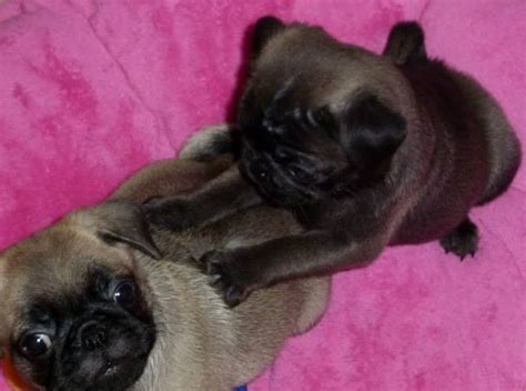 205 Best Images About Silver & Apricot Pug Puppies On
