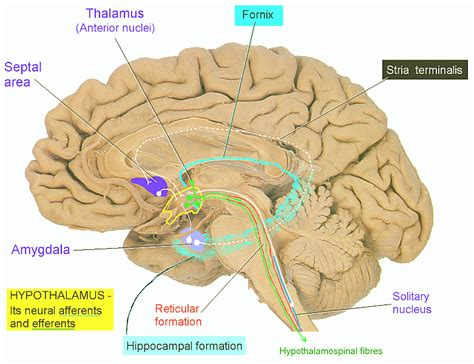Bed Nucleus Of The Stria Terminalis by Cerebrum Anatomy Page 7