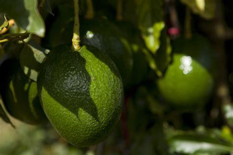 smart tips   growing avocado plant  indoor