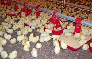 Poultry Farming Information, Broiler Farming Guide
