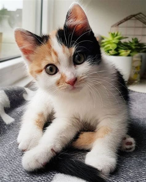calico cats cat kittens female cute facts why always cutest almost