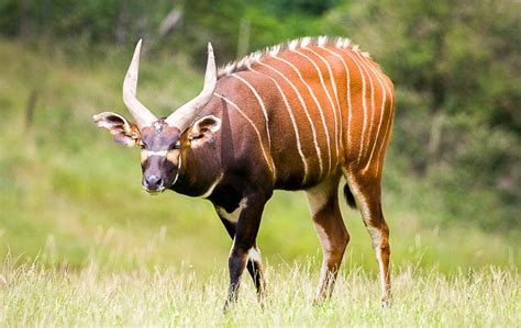 bongo facts history  information  amazing pictures