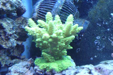 acro coral reef aquarium