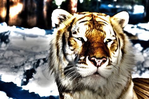 Golden Tabby Tiger The Snow Fennecx Deviantart