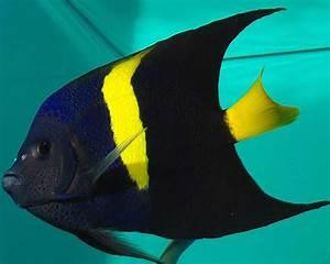 Buy Asfur Angelfish Online at Aquarium Warehouse