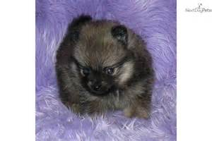 Baby Teacup Pomeranian Puppy