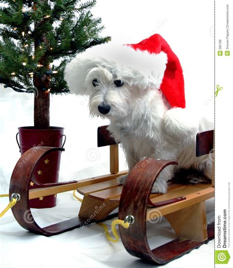 Terrier Dressed As Santa Claus Stock Photo Westie Royalty Free Stock Images Image 285789