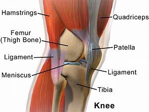 Knee Muscles And Ligaments Knee Muscles And Tendons ...