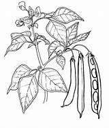 Coloring Peas Printable Pea Coloringfolder Gambar Tomato sketch template