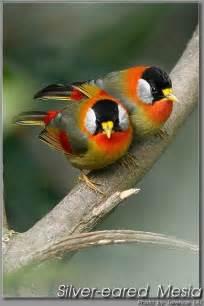 Beautiful Silver Eared Mesia Bird