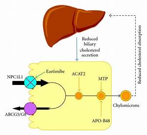 Pathways Underlying The Absorption Of Cholesterol From The