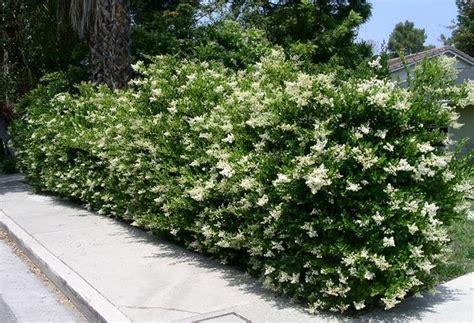 Siepi fiorite, sempreverdi, miste, naturali: Risultati immagini per siepi sempreverdi fiorite per terrazzo   Siepi da giardino, Piante da ...